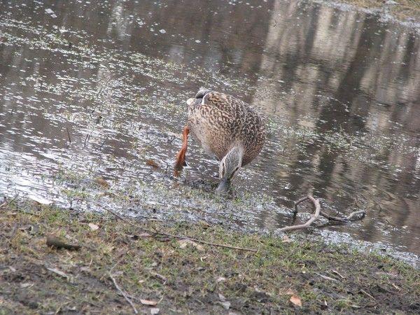 Duck series/city/COMING TOWARDS... by Heli Aarniranta on ARTwanted
