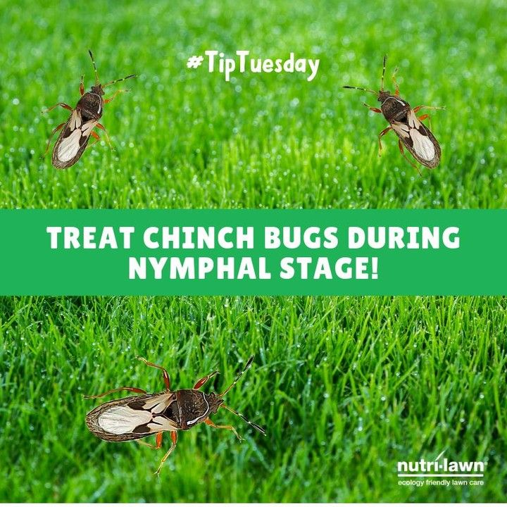 Tiptuesday If Chinch Bugs Are Present In Your Lawn It S Important To Treat Them During The Insects Nymphal Life Stage Ca Lawn Care Front Yard Garden Kits