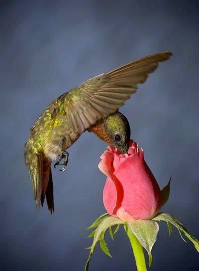 Bird in a rose