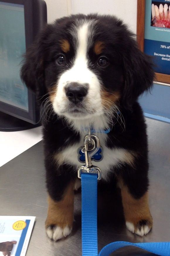 I want One!: Bern Mountain Dogs, Bernese Mountain Dogs, Dreams, Mountain Puppies, So Cute, Pet, Adorable, Big Dogs, Animal
