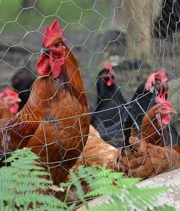 Raising Chickens... Keeping Chickens: What You Need To Know