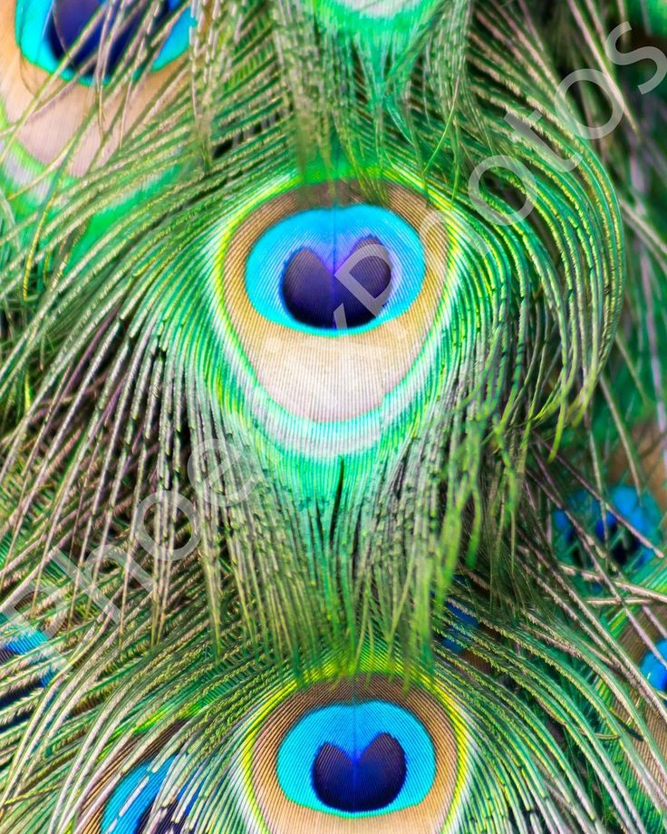 Colourful peacock feathers