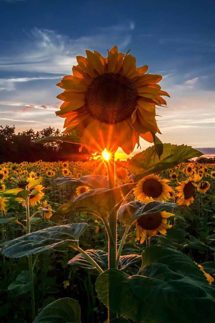 A field of sunflowers for you Denise-my friend, the sun in my day. I see you in every sunflower and I always will.