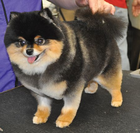 grooming styles for pomeranians - Google Search