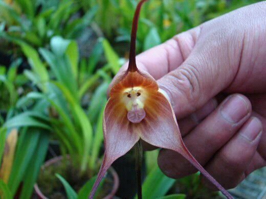 "The beautiful ""Monkey Orchid"" flower is extremely rare, beautiful and precious. It"