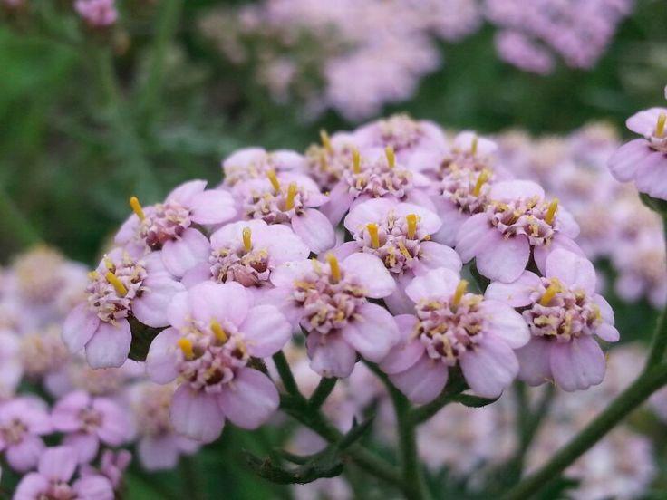 Achillea millefolium sub.  millefolium