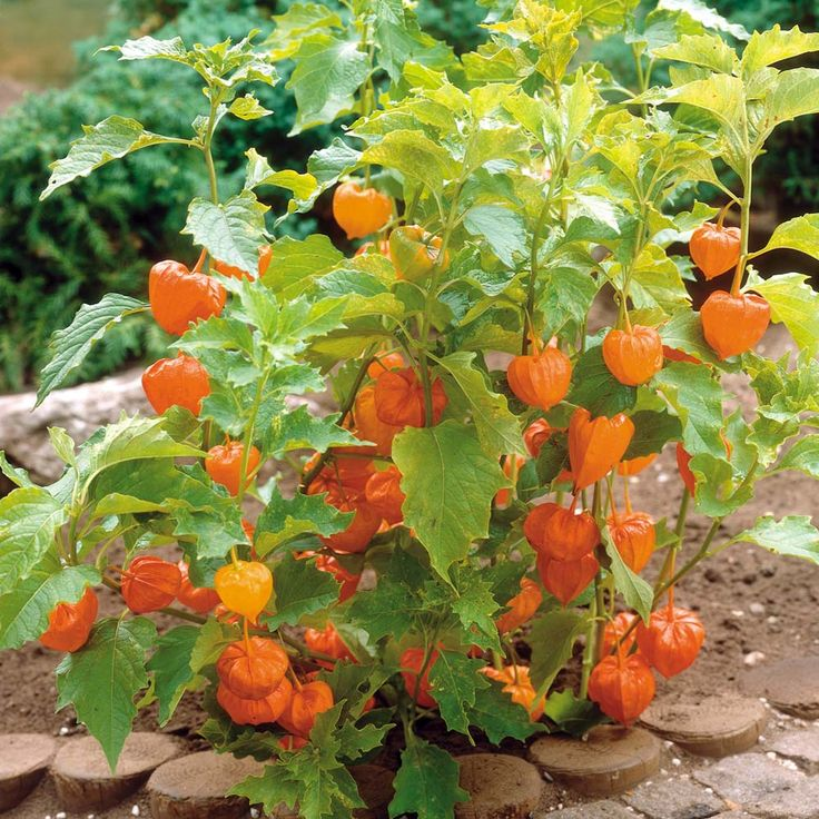 best chinese lanterns images on, Beautiful flower