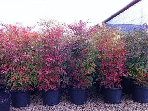 Nandina domestica 'Sacred Bamboo' - Nandina will grow just about anywhere. Full sun, frost hardy, tolerant of dry periods and in a wide range of soil types it is almost 'Bomb Proof'.