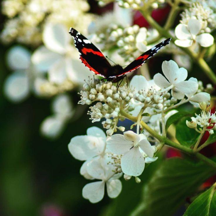 #fwcameras #gwcameras #blüten #insekten #schmetterling