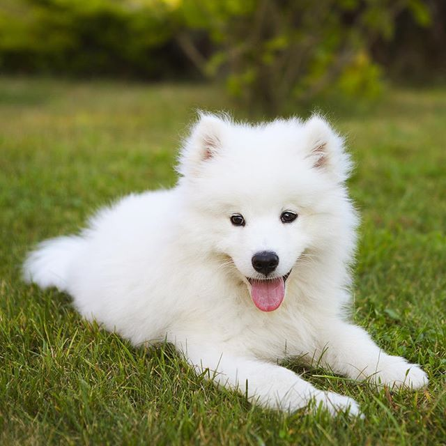 Dog Breed Like Samoyed