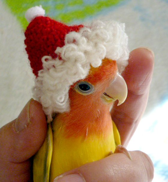 Lovebird Wears a Santa Hat | (10 Beautiful Photos)