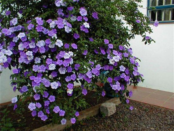 manaca de jardim em vaso : manaca de jardim em vaso:Manacá-de-cheiro (Brunfelsia uniflora): Flowers Start, Plants Flowers
