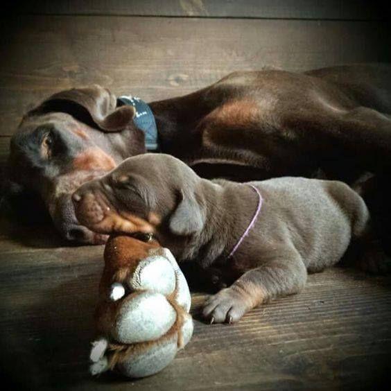 5710 besten hund bilder auf pinterest doberm nner doberman pinscher und hunde. Black Bedroom Furniture Sets. Home Design Ideas
