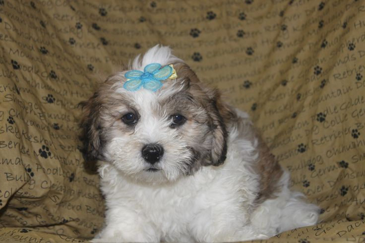 Lhasa poo puppies for sale - This is a male lhasa poo puppy at http://www.network34.com/dogsbreed/lhasa-poo-puppies-for-sale-in-pa/