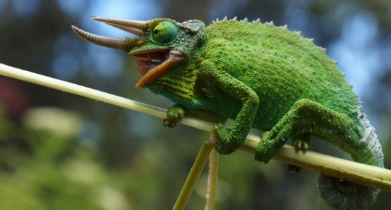 Jackson's Chameleon male by BottegaDesigns on Etsy
