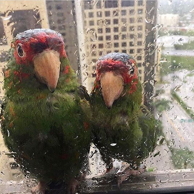 """As If this doesn't break your heart 💔, I wanted to share this post and and how sad things are in Florida, not just for us humans but for ALL living things,,,, it must be tough. """"Family spots a pair of parrots seeking shelter from hurricane Irma on 22nd floor of a Miami hotel. Photo: Laura Aguiar """" 😪 #savetheparrotson22 #equalrights#florida#prayforflorida#tampa#miami#hurricane#humanity#nature#huracan#mexico#chiapas#oaxaca#tabasco#tampa#harvey#pain#hurtstowatch#desastrenatural#"""