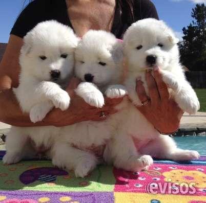 Cachorros Samoyedo Disponible Machos y Hembras Bogota  Criadero especializado en Samoyedo, Machos y Hembras                                                 ...  http://bogota-city.evisos.com.co/cachorros-samoyedo-disponible-machos-y-hembras-bogota-id-448101