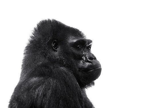 "Gorilla Photo - ""Ernie"" - 8x10 Black and White Minimalist Animal Photography Print Simple Monotone White Background on Etsy, $20.00"