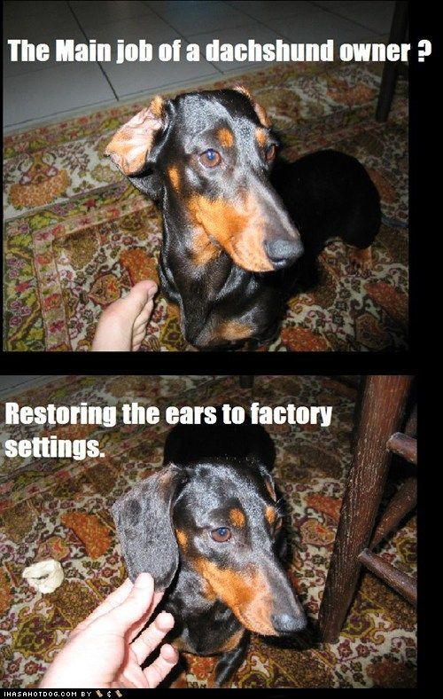 DachshundsDachshund Owners, Doxie, Funny, Ears, So True, Maine Job, Weiner Dogs, True Stories, Animal