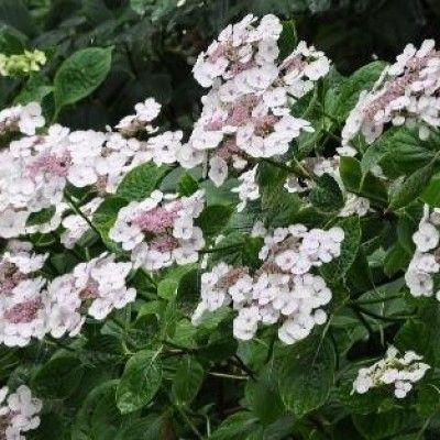 Hydrangea macrophylla 'Libelle'
