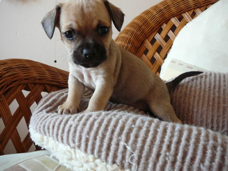 Chihuahua French bulldog mix!! OMG!!