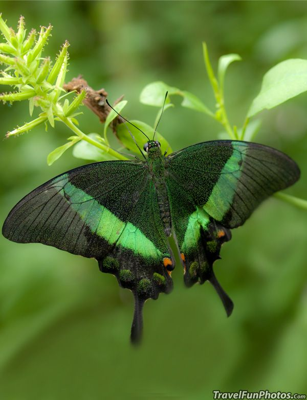 Emerald Swallowtail Butterfly - Bridgetown, England