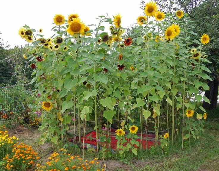 Wonderful Best 25 Sunflower House Ideas On Pinterest Sunflower Garden