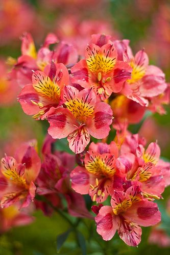 Alstromeria - a wonderful flower to have in your garden. Used often in restaurants because the flower lasts so long.