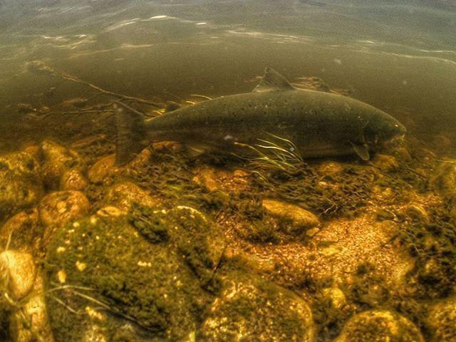 110 cm of silver returning to the deep ✌ #flyfishing #fly #fishing #atlantic #salmon #massive #fish #big #summer #catchandrelease #awesome #passion #good #moment #norway #underwater #visitnorway #good #nice #moment #beautiful #nature #hookedno #dplukkes #laksefiske #norge #storlaks #laks #fiske #marnarlaks