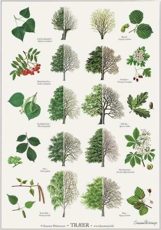 Elegant plakat i A2 (42 x 59,7 cm) tegnet af Susanne Weitemeyer, med nogle af Danmarks mest almindelige træer.