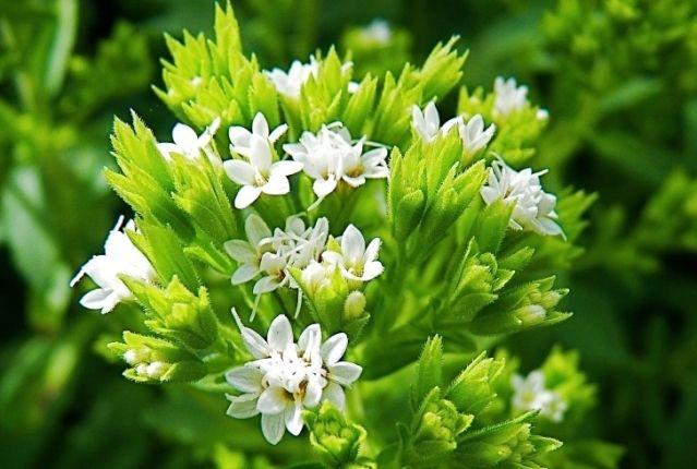 Мы уже расказывали о пользе стевии и ее основных положительных свойствах в статье Стевия лекарственная – медовая трава с лечебными свойствами. Настало время рассказать, как вырастить эту прекрасную траву на даче.
