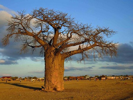 Baobab Tree. Messina, Limpopo, South Africa. www.southafrica.net