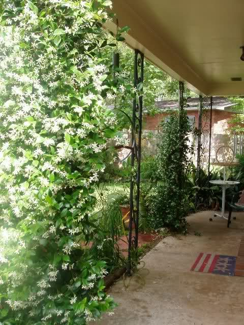 Star Jasmine, climber for balcony