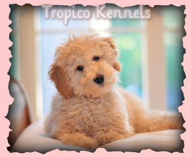 Chart of breeds...Mini Goldendoodle puppies for sale in Los Angeles, Southern California! Mini Goldendoodle Breeder in Los Angeles, Southern California!