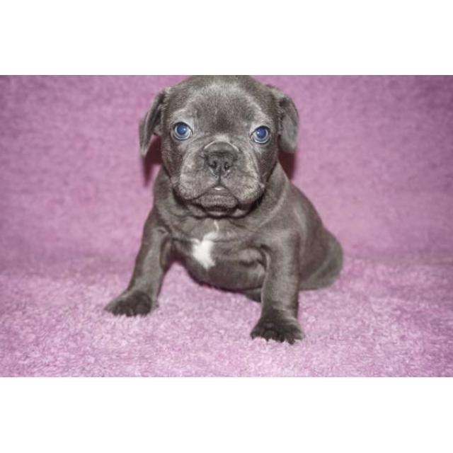 Bulldog Dallas We Have 4 Blue Brindle Male French Bulldog Puppies Still Available They All Have A 5050 Possibility French Bulldog Puppies French Bulldog Harness Bulldog Puppies