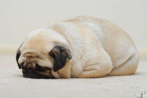 Adorable / Pug life.