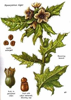 Henbane   The Poison Diaries  Toxic but in the correct doses can be used as a analgesic and sedative.
