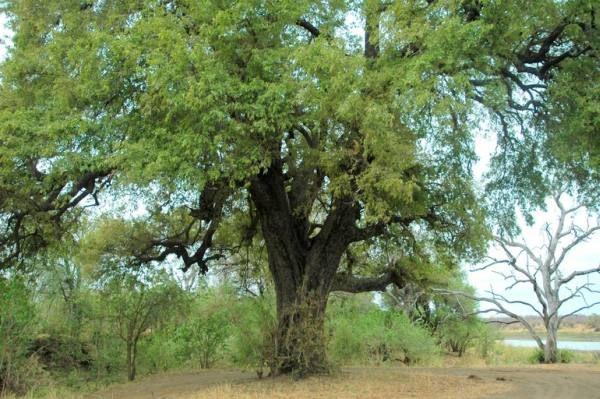 ebony trees | Jackal Berry/African Ebony