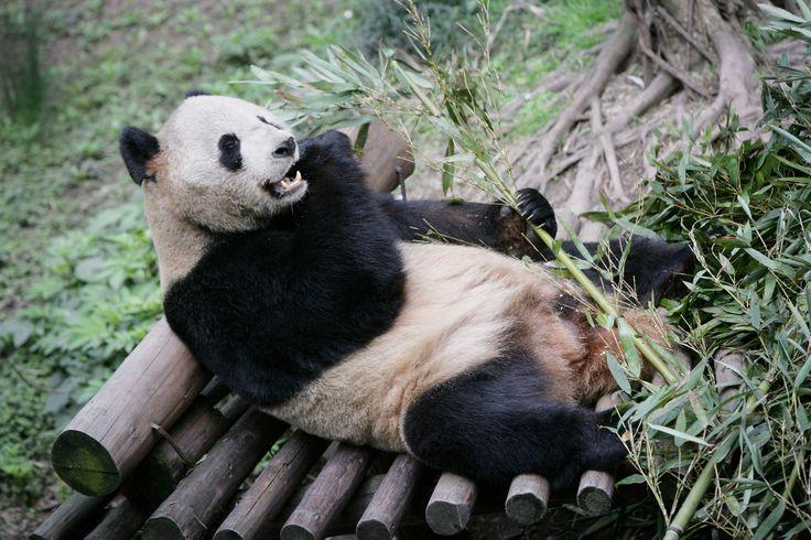 pandas | giant pandas: Information from Answers.com