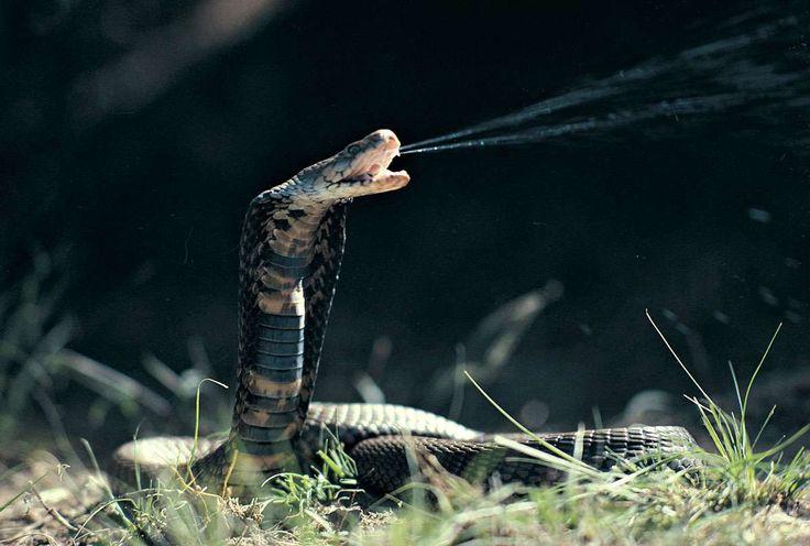 schlangen bilder kobra - Google-Suche