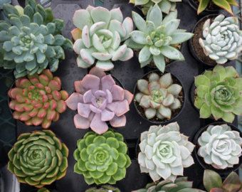 Succulent Plant Pachyveria 39 Powder Puff 39 By