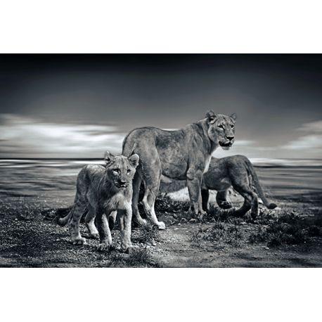 Obraz na płótnie - Dzikie lwy - dostępny w rozmiarach 120x80, 90x60, 70x45, 60x40 i 40x26 cm #fedkolor #obraz #na #płótnie #ze #zdjęcia #lwy #lew #lwica #lwiątka #sawanna #Afryka #zwierzęta #natura #dzika #obrazzezdjecia #obraznapłótnie #zdjęcienapłótnie #wydtruknapłótnie #dekoracje #ozdoby #kreatywnie #czarnobiałe #blackwhite