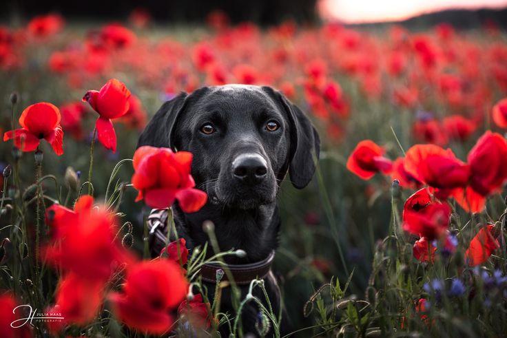 Hund im Mohnfeld | Hundefotografie | Fotografin | Tierbild | Shooting | Erinnerung | Inspiration | Ideen | Tiere | Tierfotografie | Dog | Sonnenunterg…