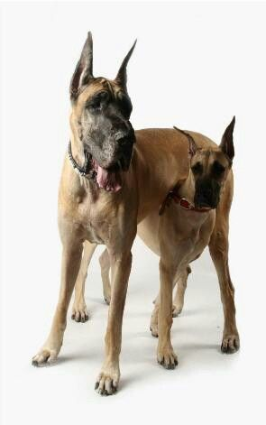 #Great #Danes family