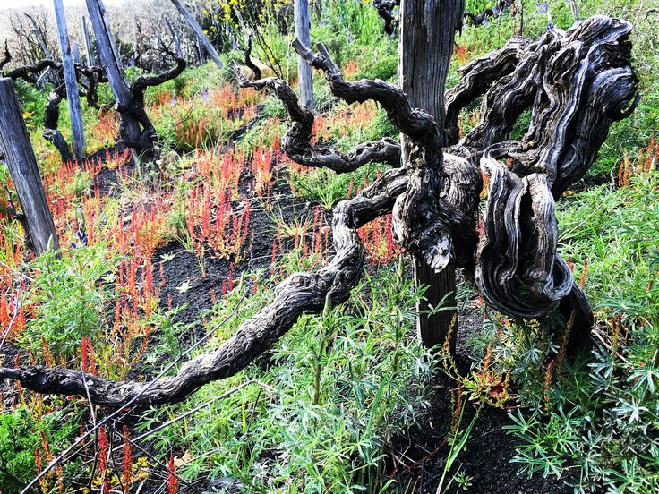 Beautiful Nerello Mascalese prephylloxera vine in SantaMariaLaNave vineyard