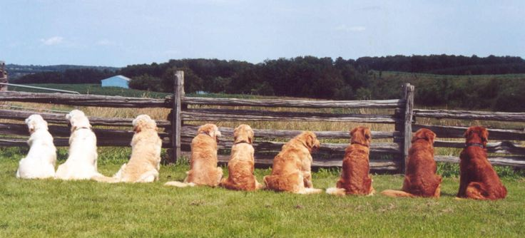 Don't Be Decieved:  English Cream Golden Retrievers