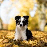 #dogalize Razze cani: Pastore Australiano, carattere e caratteristiche #dogs #cats #pets