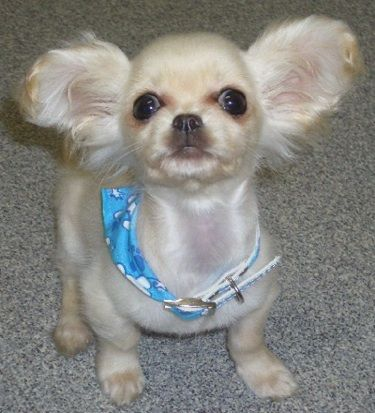 Stanley, the Cavalier King Charles X Chihuahua (Chilier) puppy at 12 weeks old SO CUTE!!!