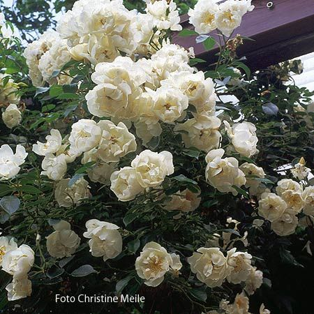 Image result for city of york rose