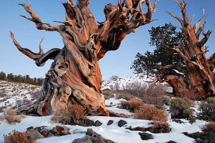 Alte Bäume: Wo die ältesten Stämme zu finden sind